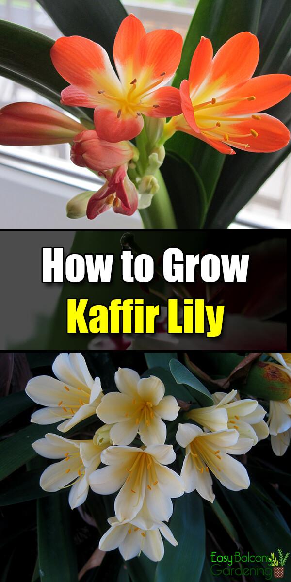 How to Grow Kaffir Lily - Easy Balcony Gardening