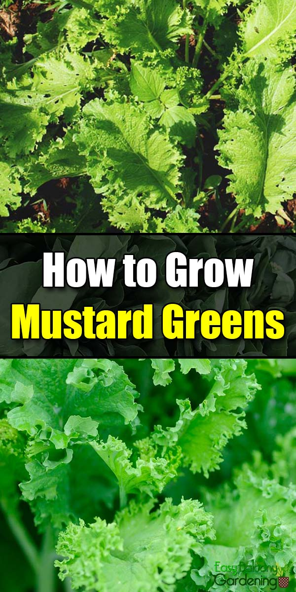 How to Grow Mustard Greens - Easy Balcony Gardening