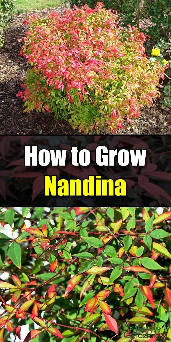 How to Grow Nandina - Easy Balcony Gardening