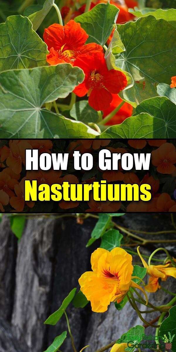 How to Grow Nasturtiums - Easy Balcony Gardening
