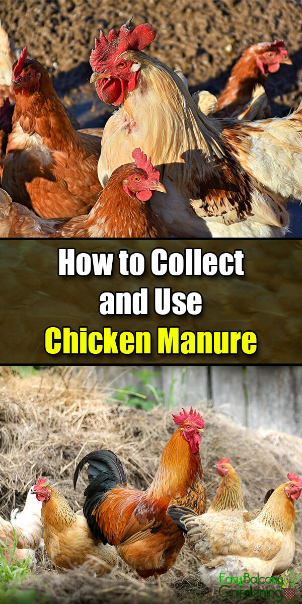 How to Collect and Use Chicken Manure - Easy Balcony Gardening