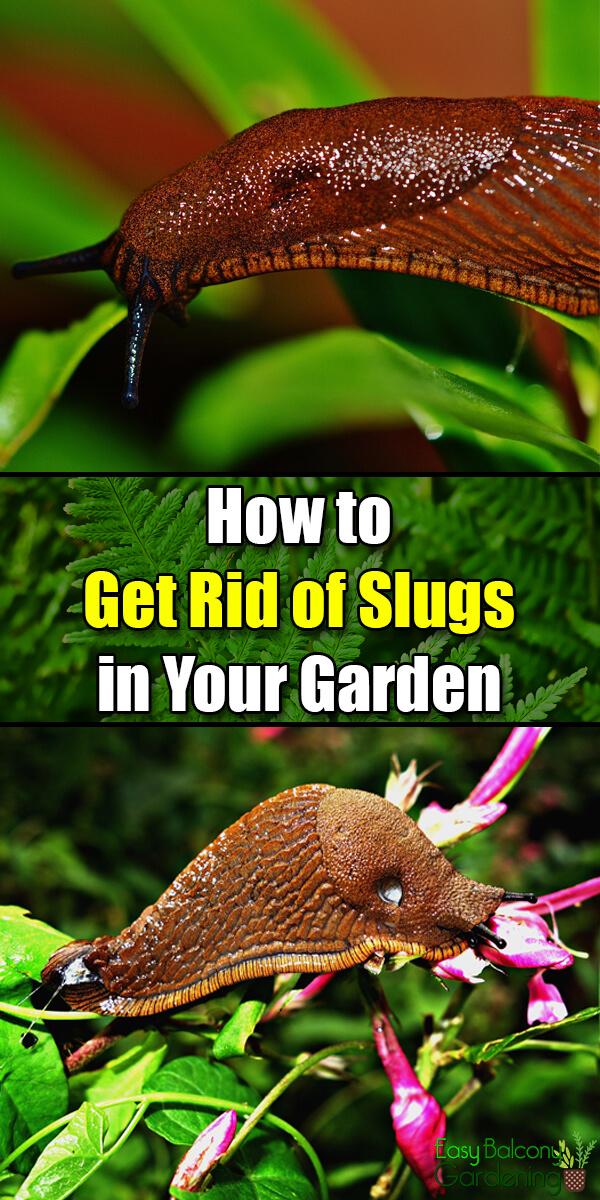 How to Get Rid of Slugs in Your Garden - Easy Balcony Gardening
