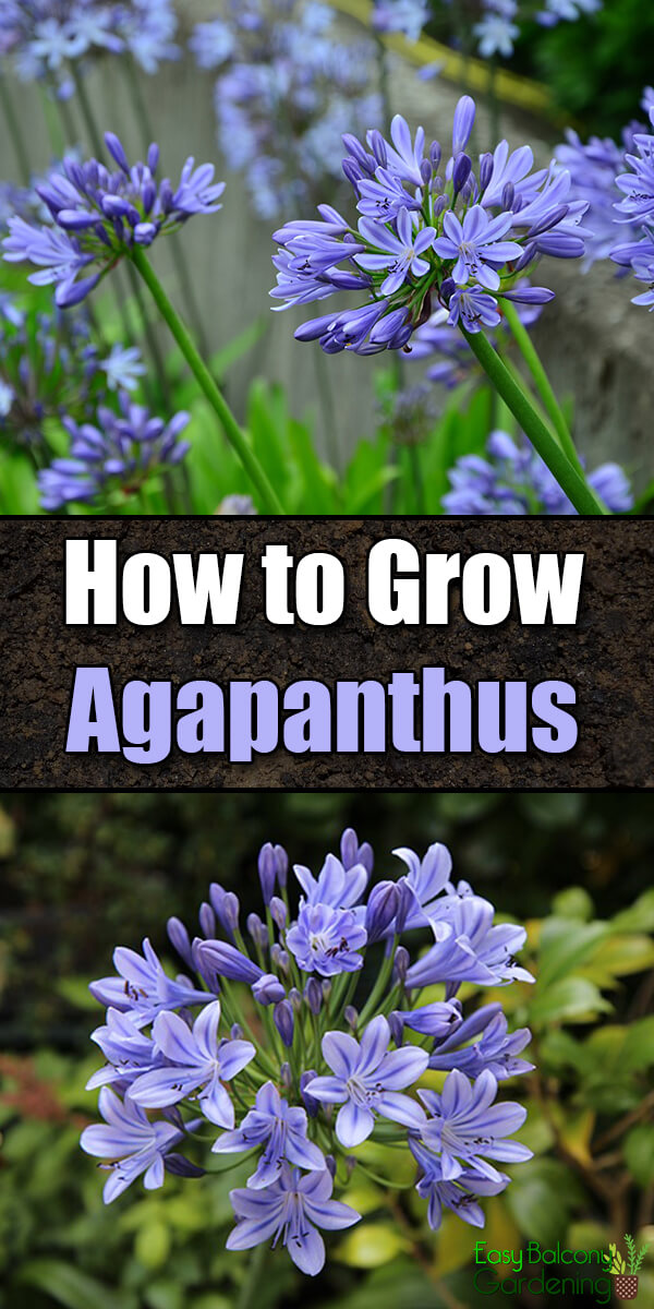 How to Grow Agapanthus - Easy Balcony Gardening