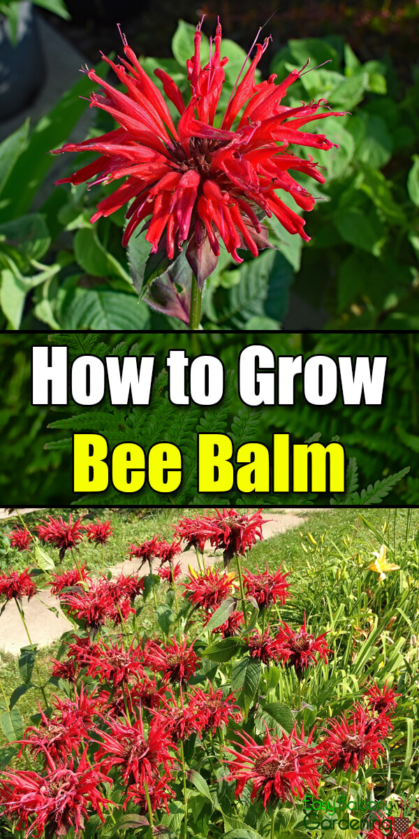 How to Grow Bee Balm - Easy Balcony Gardening