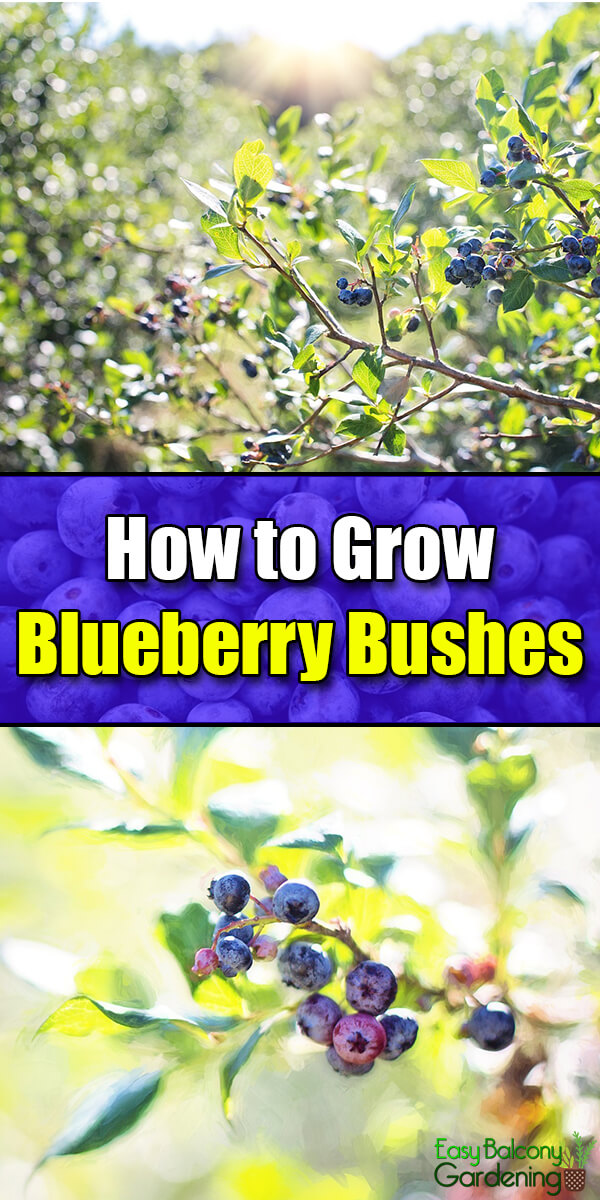How to Grow Blueberry Bushes - Easy Balcony Gardening