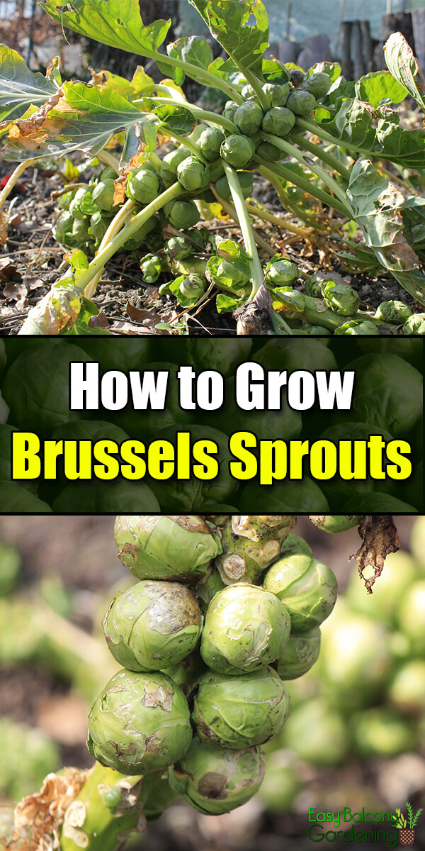 How to Grow Brussels Sprouts - Easy Balcony Gardening