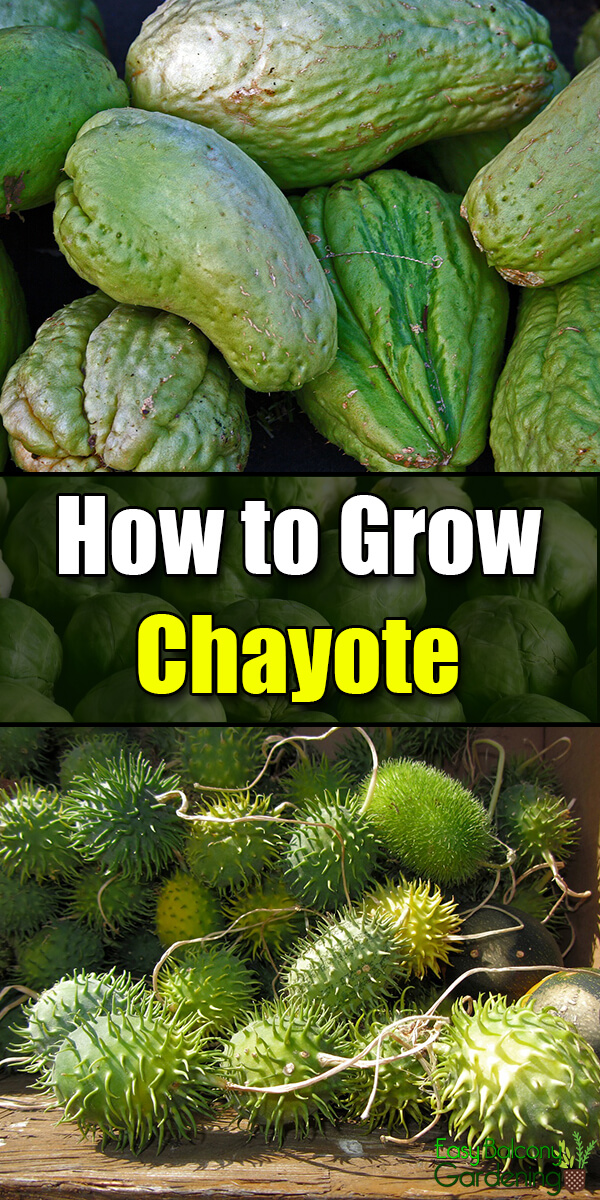 How to Grow Chayote - Easy Balcony Gardening