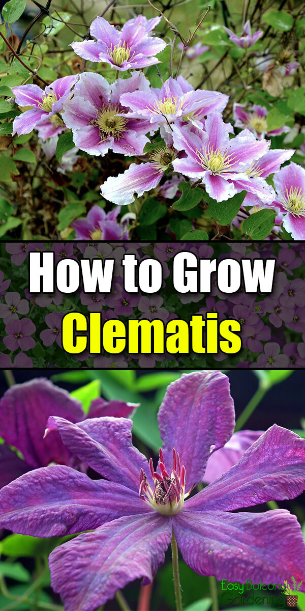 How to Grow Clematis - Easy Balcony Gardening