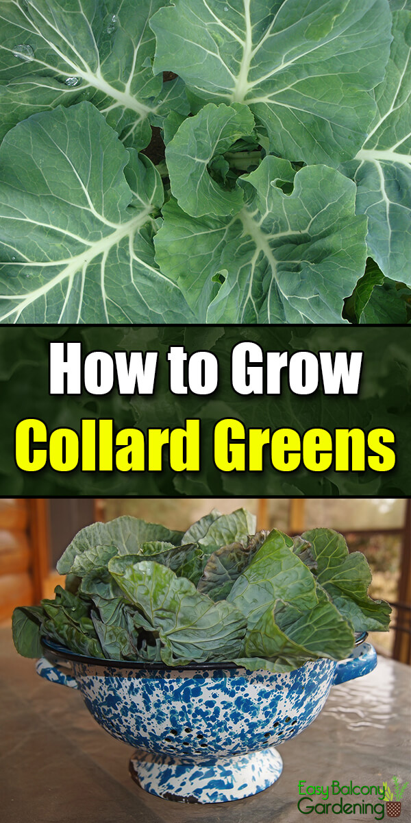 How to Grow Collard Greens - Easy Balcony Gardening