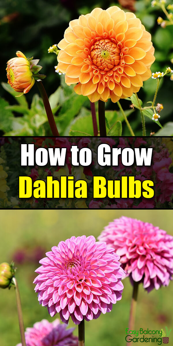How to Grow Dahlia Bulbs - Easy Balcony Gardening