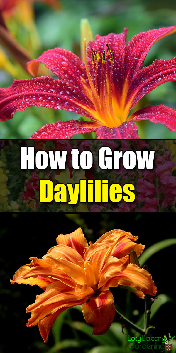 How to Grow Daylilies - Easy Balcony Gardening