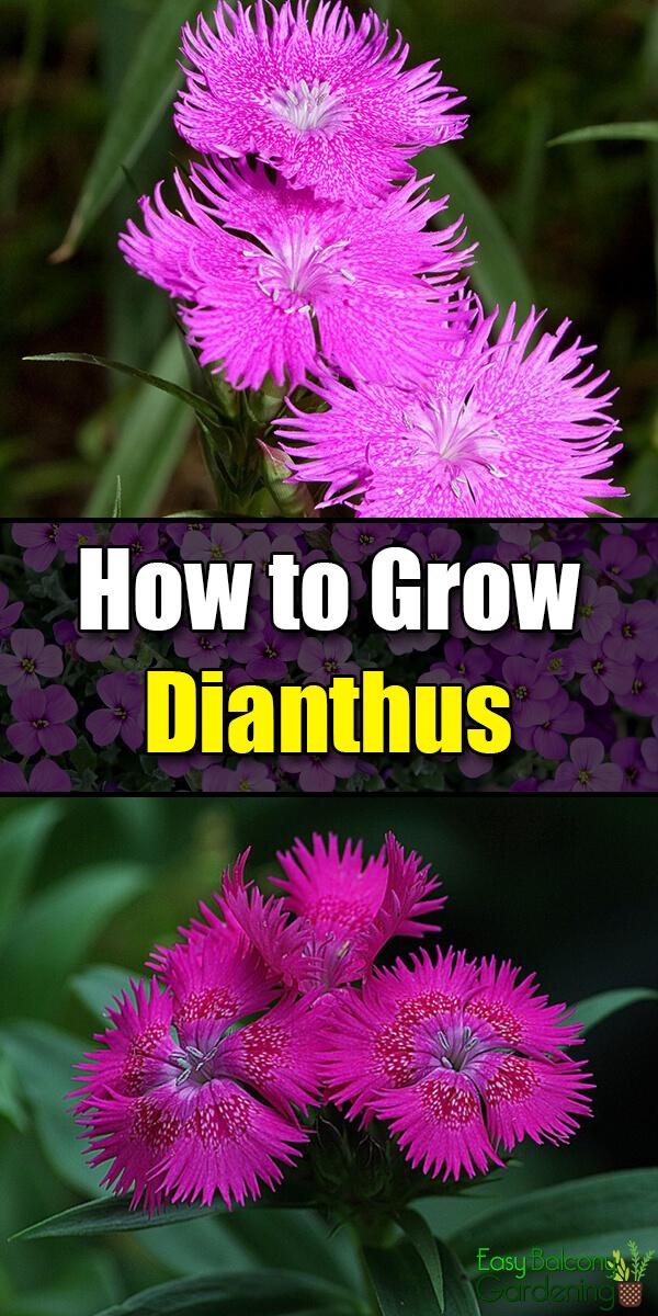 How to Grow Dianthus - Easy Balcony Gardening