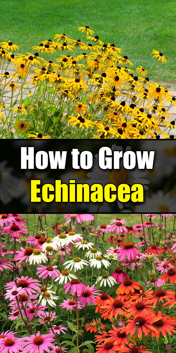 How to Grow Echinacea - Easy Balcony Gardening
