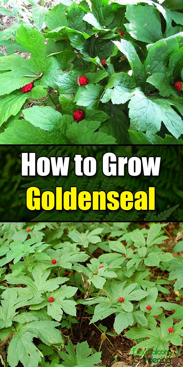 How to Grow Goldenseal - Easy Balcony Gardening