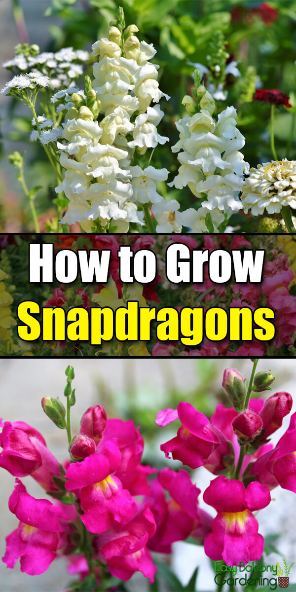 How to Grow Snapdragons - Easy Balcony Gardening