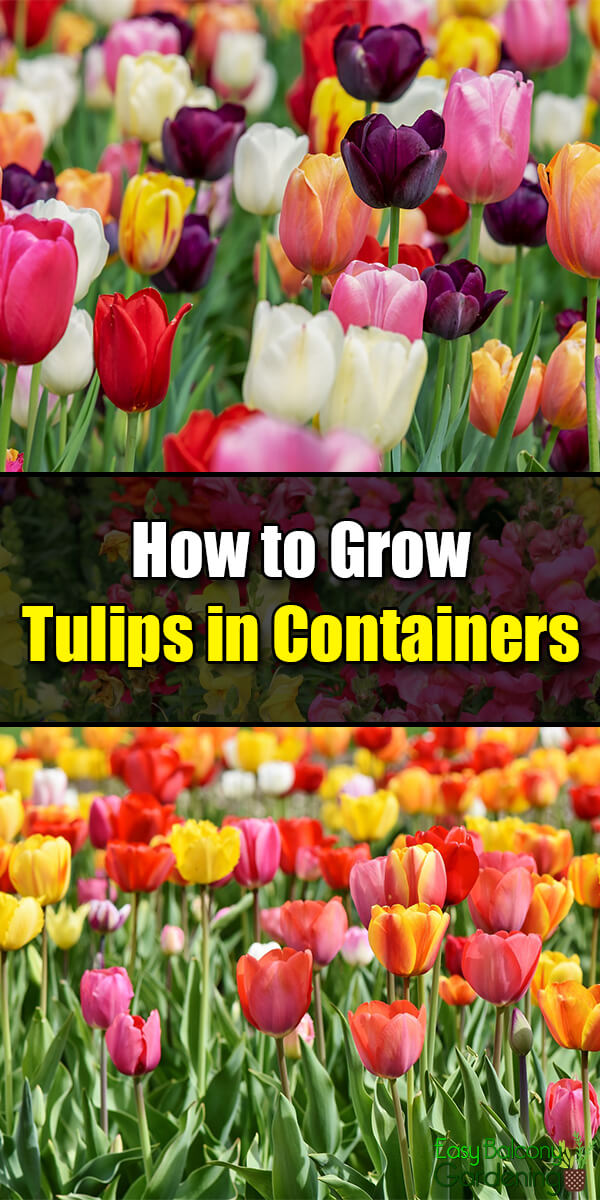 How to Grow Tulips in Containers - Easy Balcony Gardening