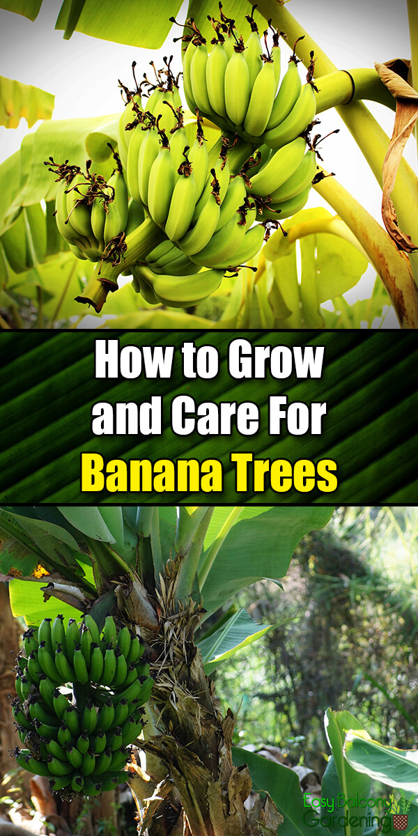 How to Grow and Care For Banana Trees - Easy Balcony Gardening
