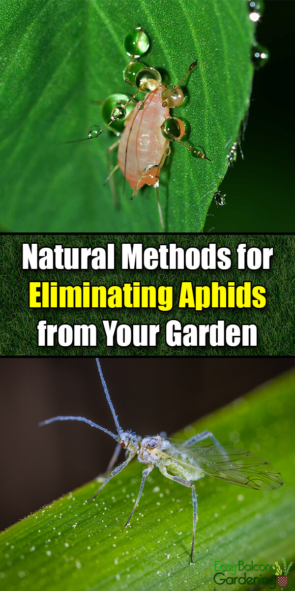 Natural Methods for Eliminating Aphids from Your Garden - Easy Balcony Gardening
