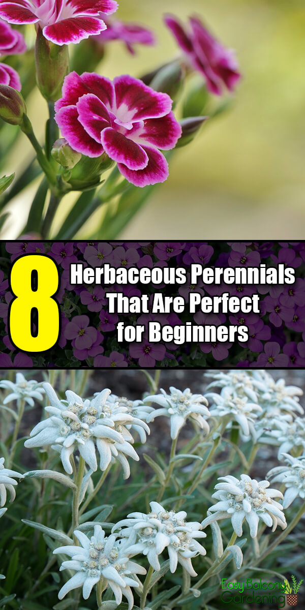 8 Herbaceous Perennials That Are Perfect for Beginners - Easy Balcony Gardening