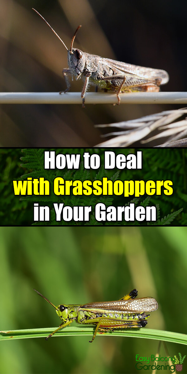 How to Deal with Grasshoppers in Your Garden - Easy Balcony Gardening