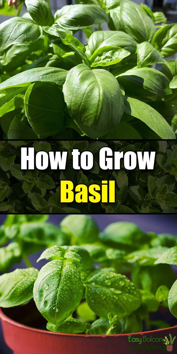 How to Grow Basil - Easy Balcony Gardening