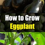 How to Grow Eggplant - Easy Balcony Gardening