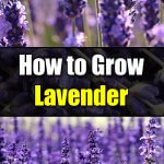 How to Grow Lavender - Easy Balcony Gardening