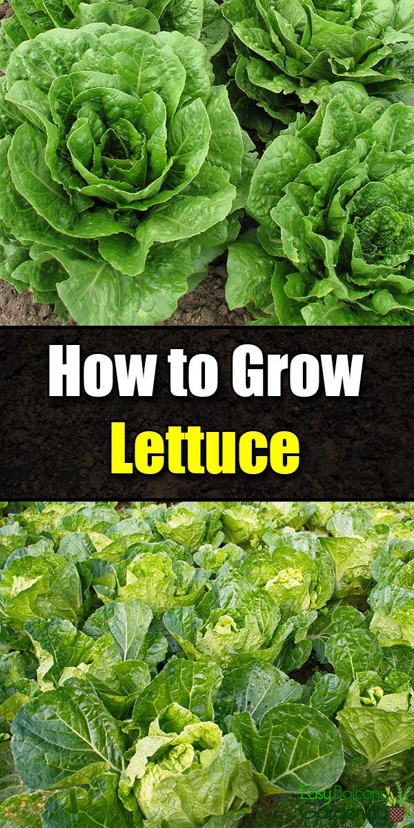 How to Grow Lettuce - Easy Balcony Gardening