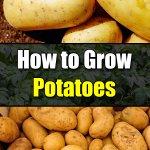How to Grow Potatoes - Easy Balcony Gardening