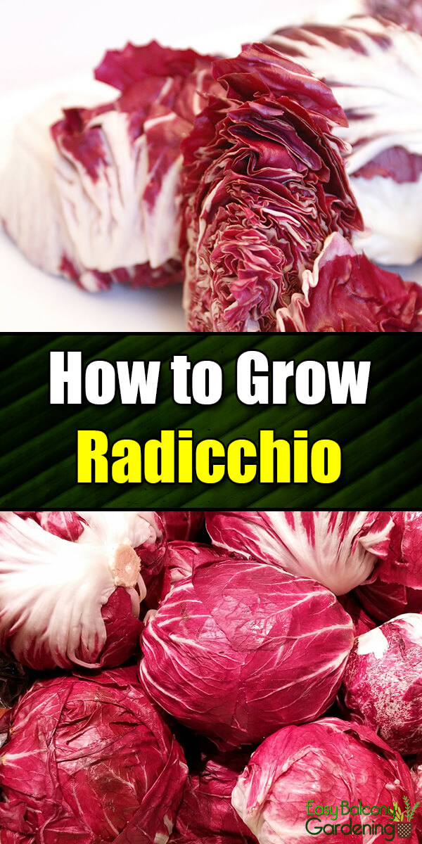 How to Grow Radicchio - Easy Balcony Gardening