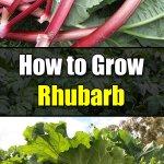 How to Grow Rhubarb - Easy Balcony Gardening