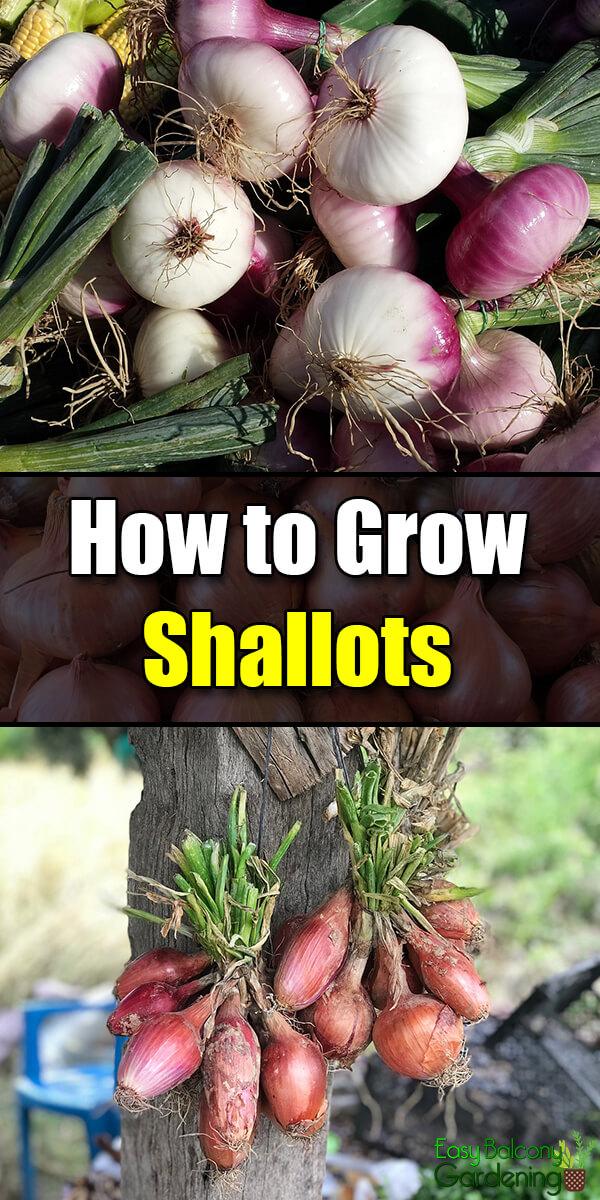 How to Grow Shallots - Easy Balcony Gardening