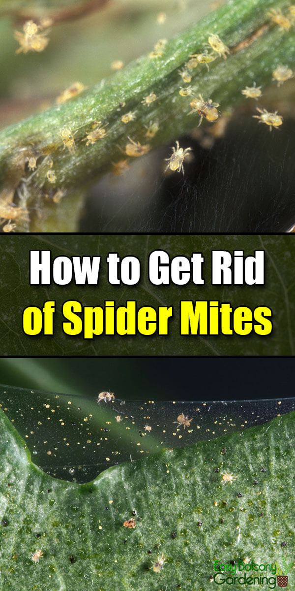 How to Get Rid of Spider Mites - Easy Balcony Gardening