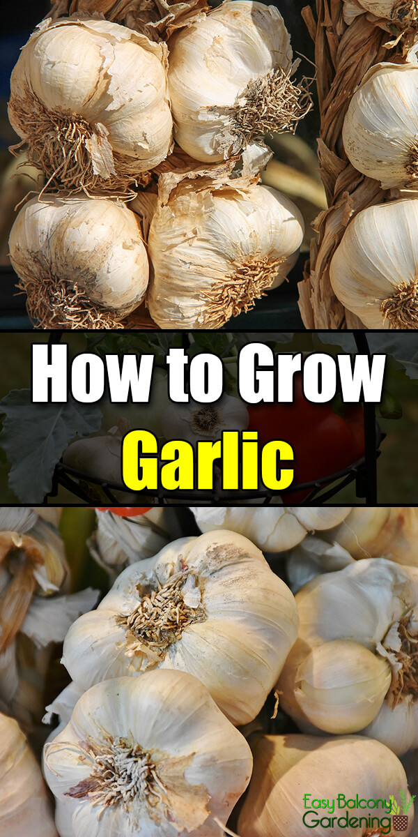 How to Grow Garlic - Easy Balcony Gardening