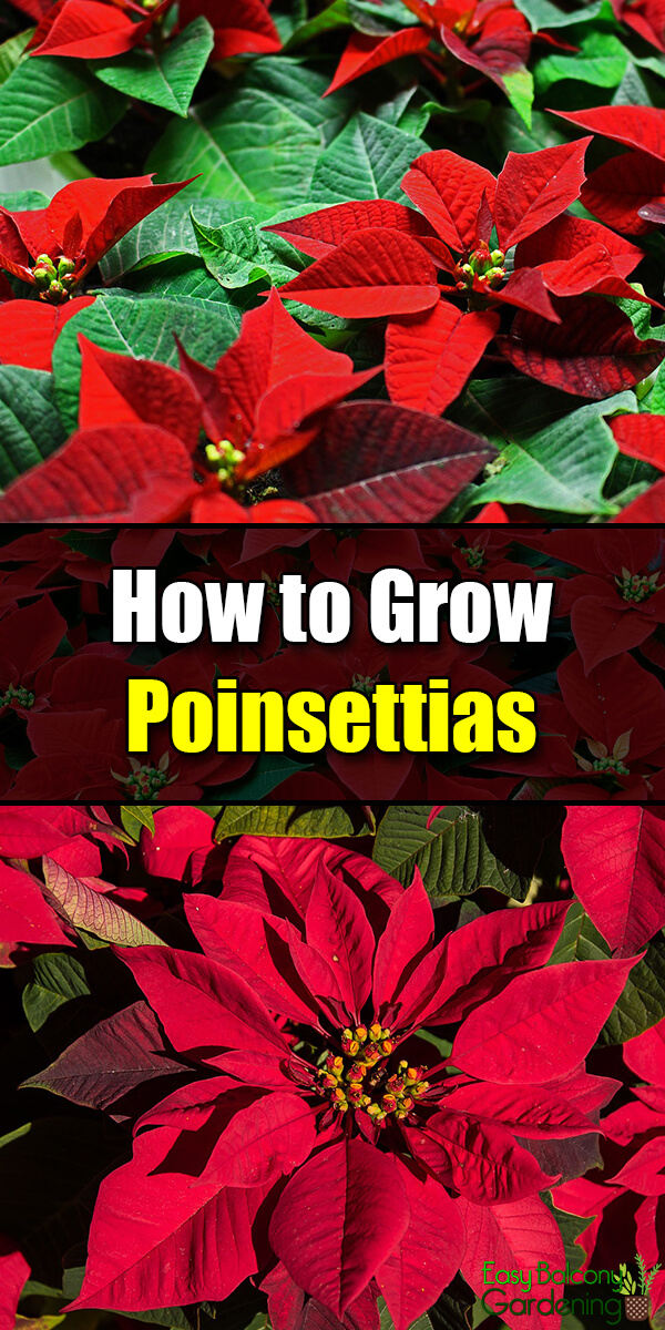 How to Grow Poinsettias - Easy Balcony Gardening