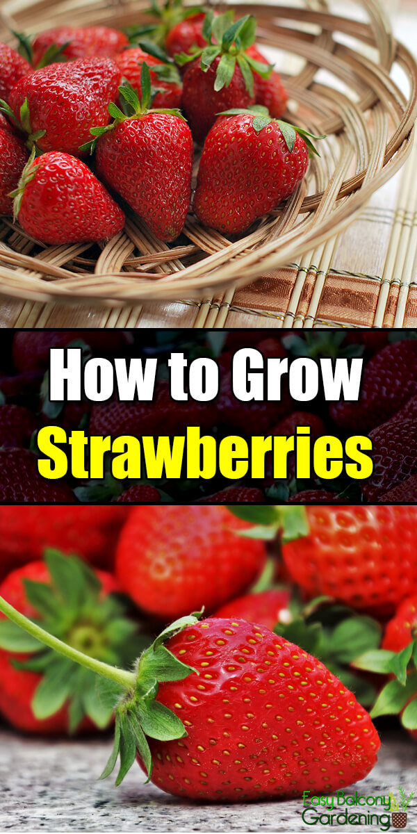 How to Grow Strawberries - Easy Balcony Gardening