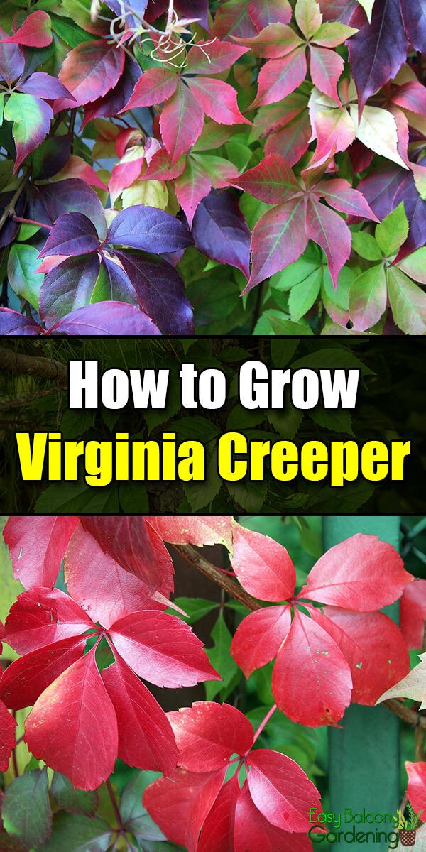 How to Grow Virginia Creeper - Easy Balcony Gardening