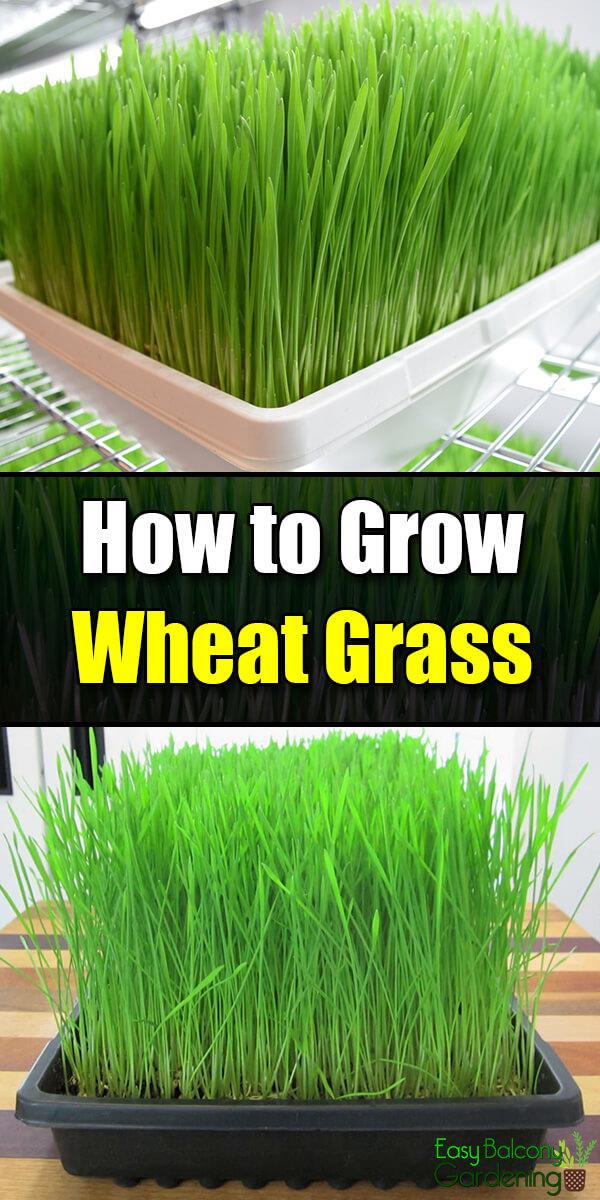 How to Grow Wheatgrass - Easy Balcony Gardening