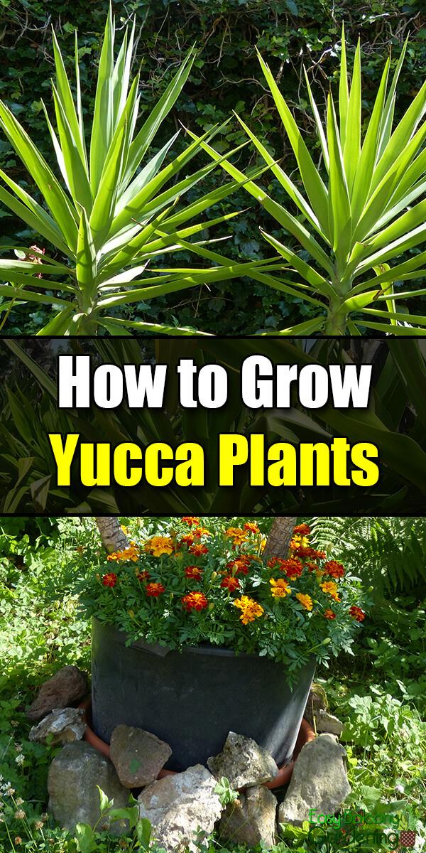 How to Grow Yucca Plants - Easy Balcony Gardening