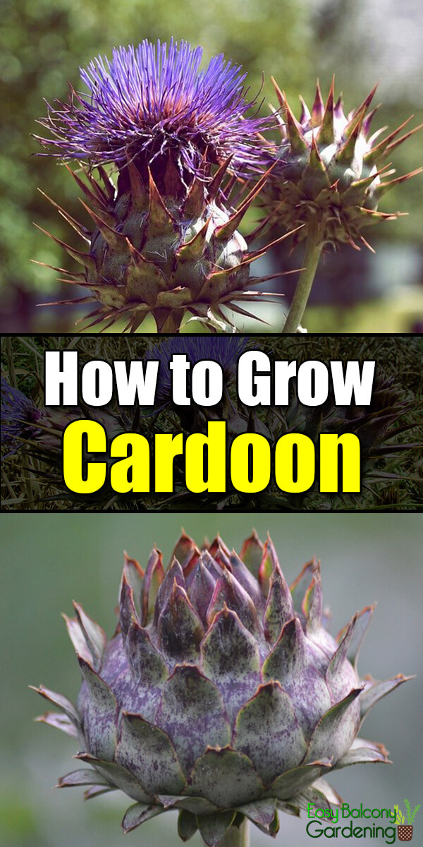 How to Grow Cardoon