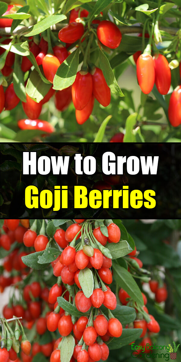 How To Grow Goji Berries Easy Balcony Gardening